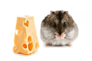 can hamsters eat cheese