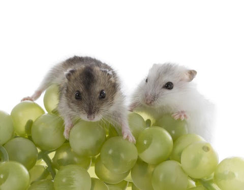 can hamsters eat grapes