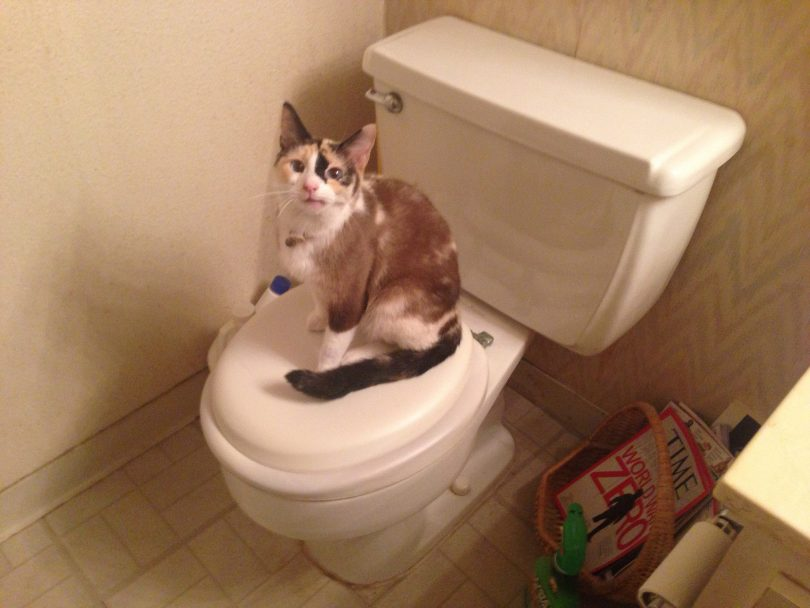 Train a Cat to Use the Toilet