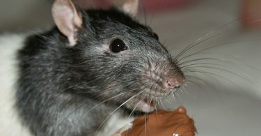 can rats eat chocolate