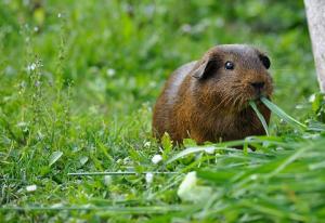 can guinea pig eat grass
