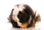 coronet guinea pig breed