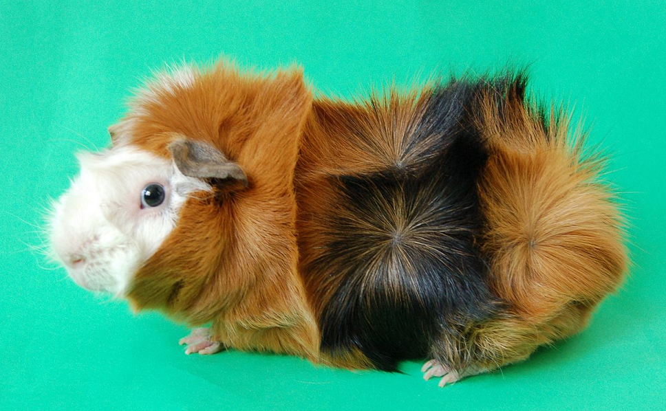 guinea pig breeds abyssinian
