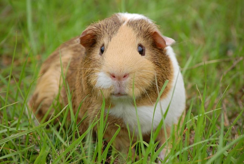 guinea pig breeds american
