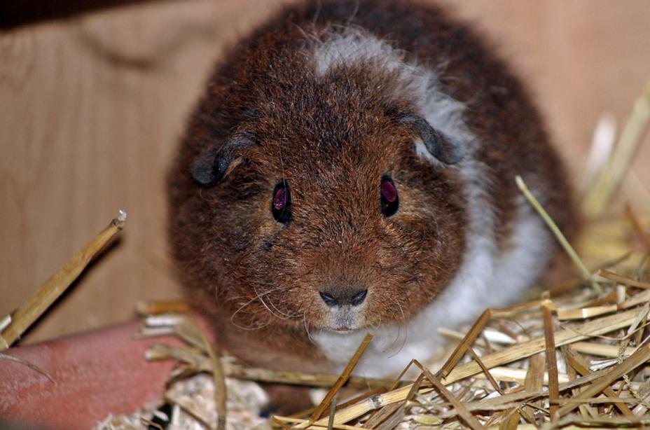 guinea pig breeds rex