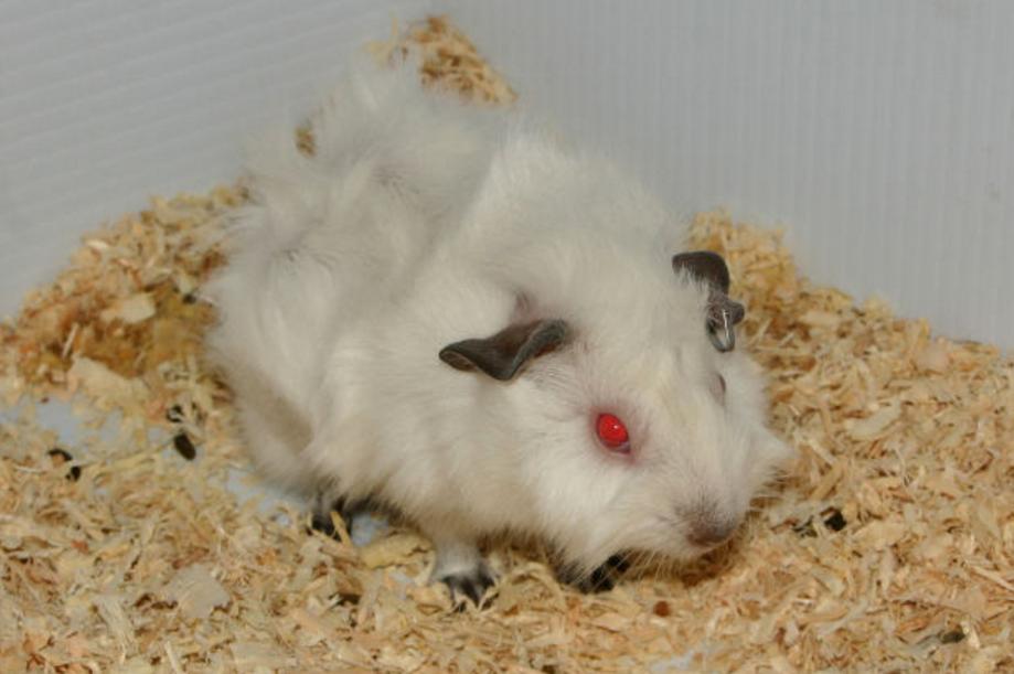 hihimalayan guinea pig breed