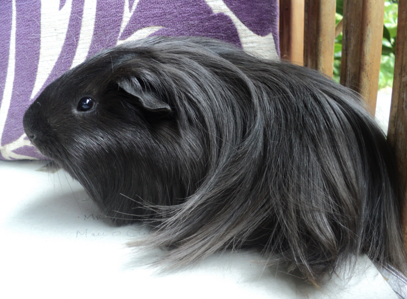 silkie guinea pig breed