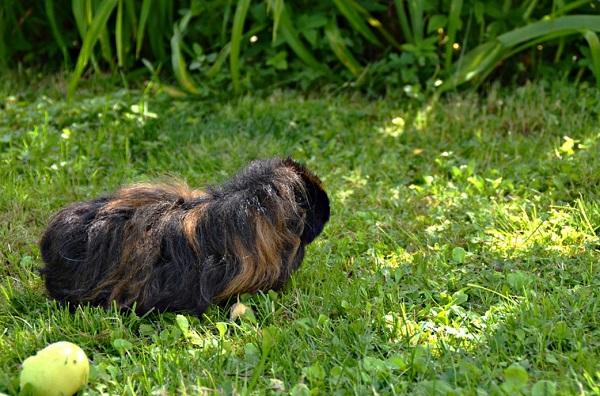 alpaca guinea pig