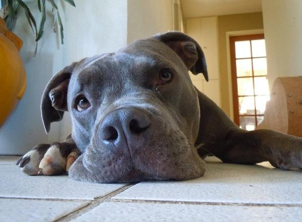 blue nose pitbull price