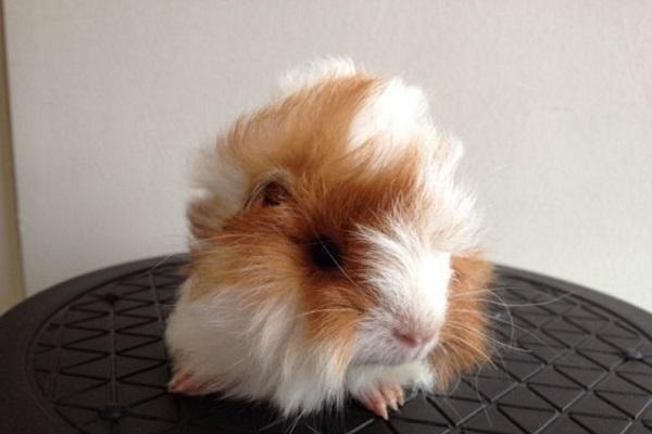 sheba mini yak guinea pig