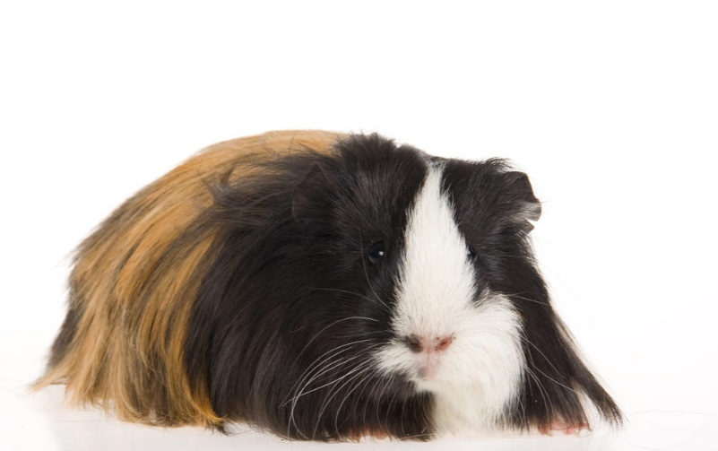 silkie guinea pig