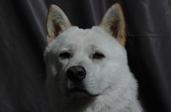 korean jindo, one of the white dog breeds