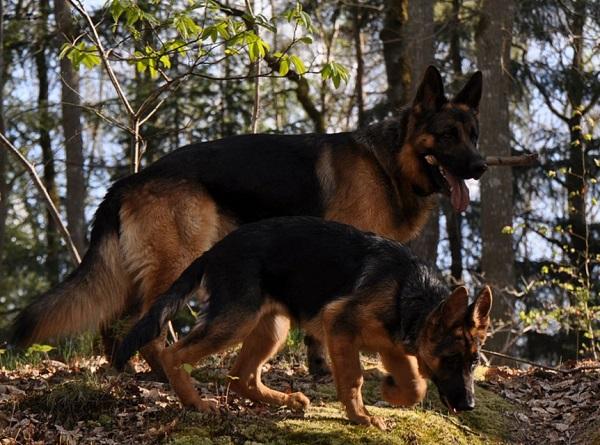 german shepherd breed