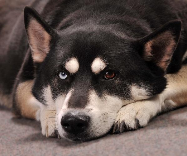 german shepherd husky mix dog