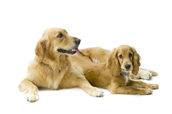 golden retriever and cocker spaniel together