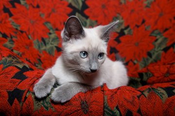 Best Names For Siamese Cats