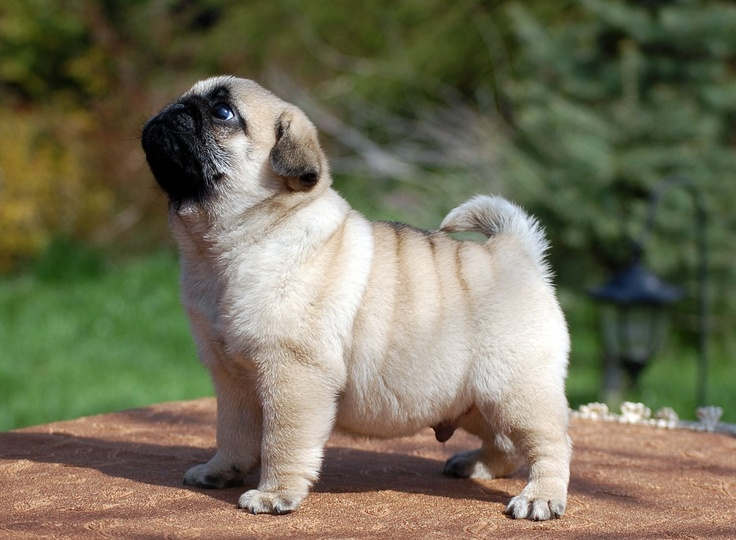 Top 10 Names For Pugs