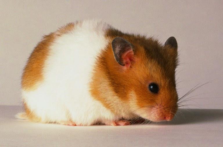 Can Hamsters Eat Mango