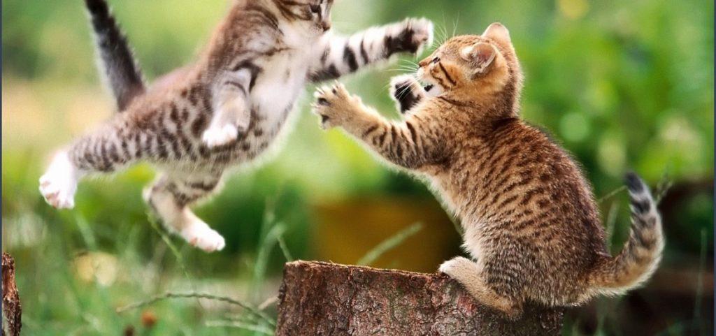 Cat Behaviour After Fight
