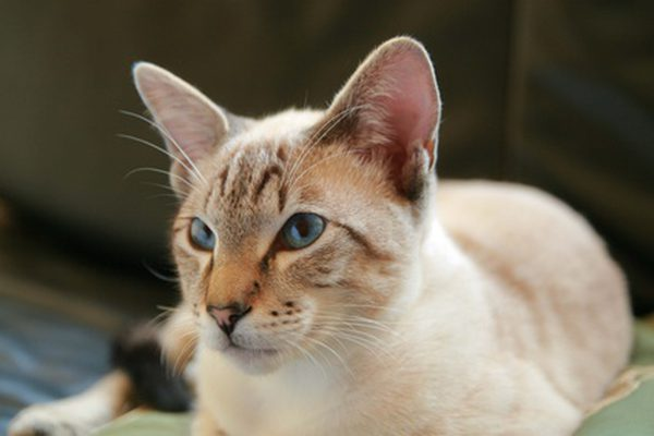 How to Prevent Ear Mites in Cats