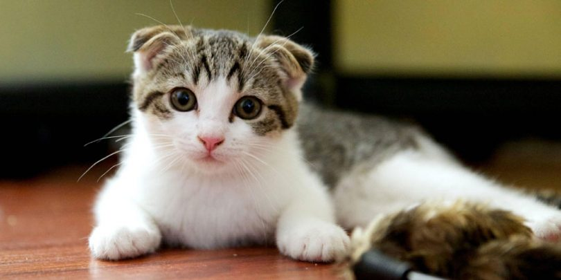 Scottish Fold Cat Health Problems