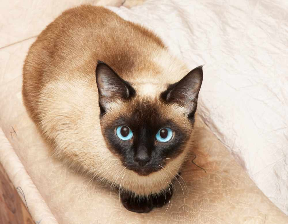 Siamese Cat Health Problems
