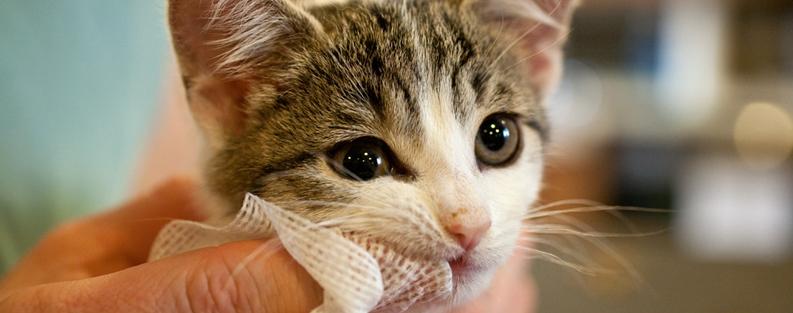 Cat Teeth Cleaning Procedure