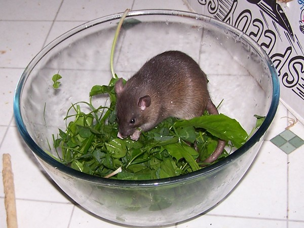 Can Rats Eat Lettuce