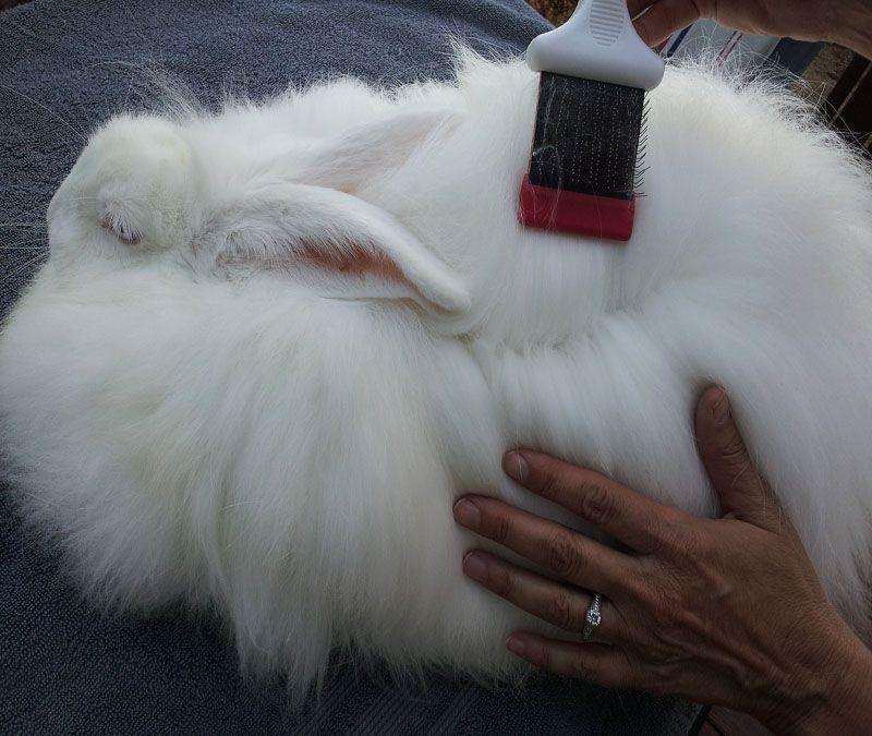 Rabbit Grooming Tips