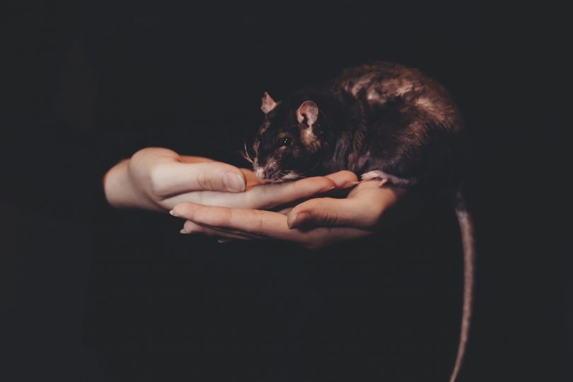 rats help the environment