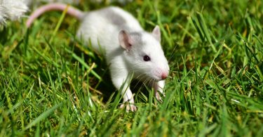 rats used in medical research