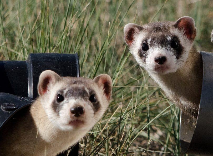 ferrets make good pets