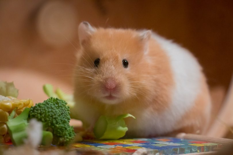 what do hamsters eat
