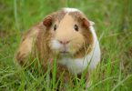 guinea pig body language