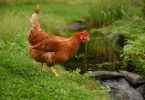 how much water do chickens need