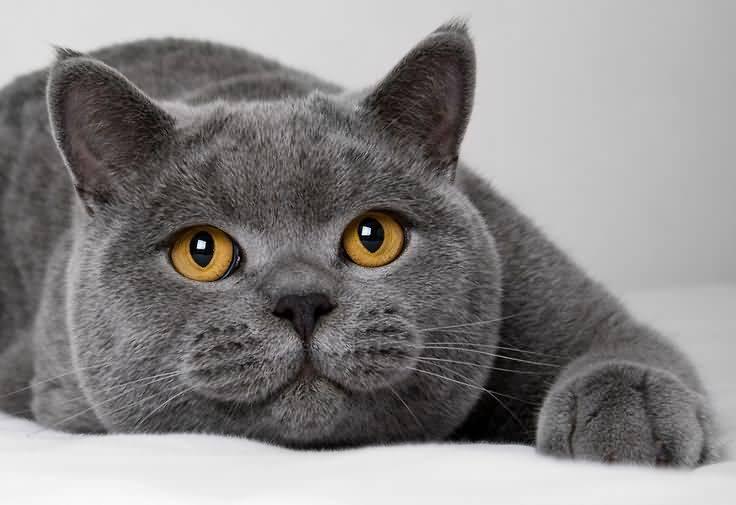 black cat breed