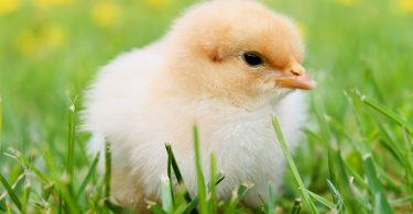 when can chicks go outside