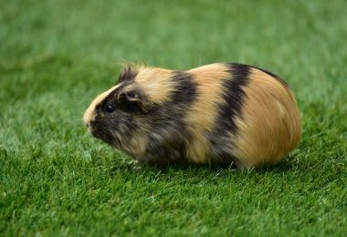 guinea pig pop corning