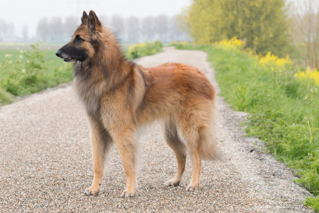large dog breed
