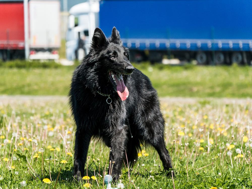 large dog breed